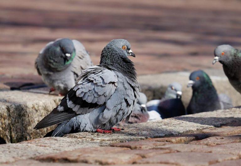 Czy nie macie dosyć gołębiu latających wokół mieszkania?