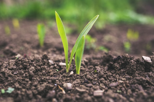 Uprawa zbóż i zagrożenia związane z tym